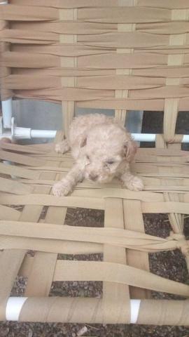 Poodle toy femea em até 10x
