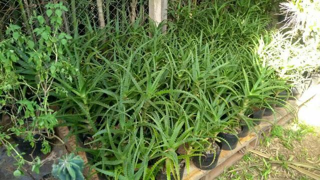 Mudas de Babosa Aloe Vera