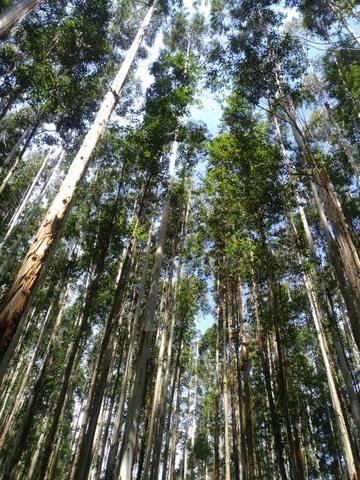 Fazenda com reflorestamento de Pinus e Eucalipto 80ha Goioxim