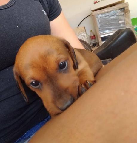 Filhotes de Basset dachshund - Foto 5