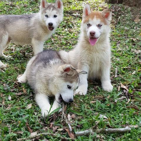 !!!!Lindíssimos Filhotes de Husky !!!!