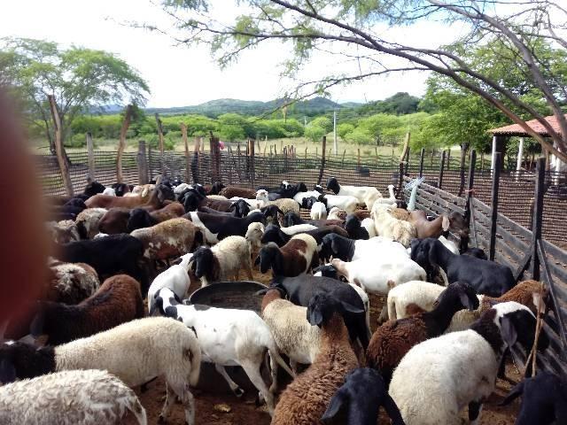 Venda de carneiros - Foto 2