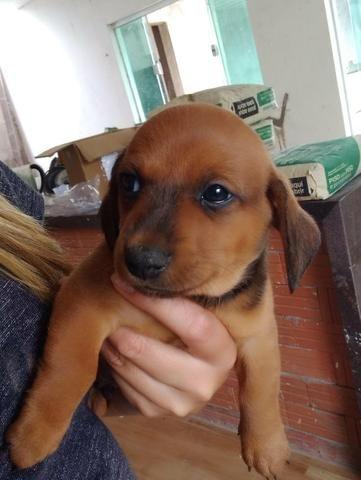 Filhotes de Basset dachshund - Foto 6