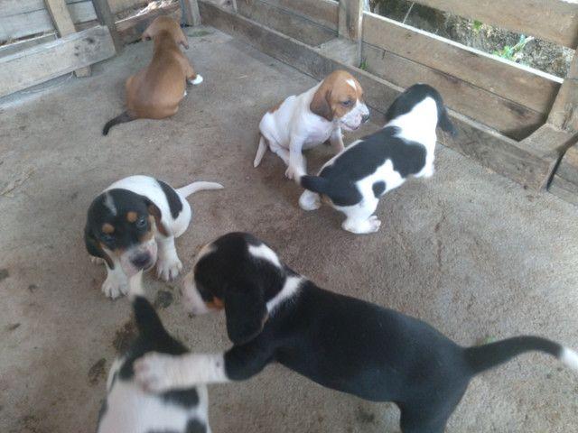 Cães para caça - Foto 4
