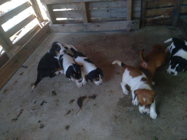 Cães para caça - Foto 3