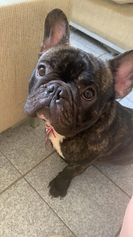 Bulldog Francês - Procuro Namorada - Foto 6