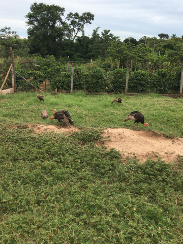 Vendo peru macho e femia perua - Foto 3