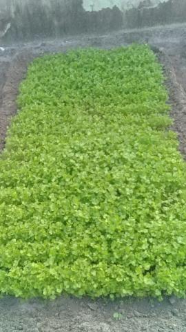 Cheiro verde - Foto 2