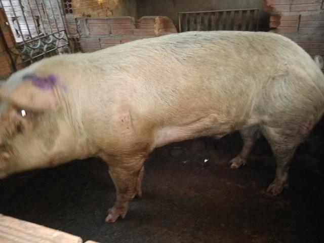 Vende-se porco