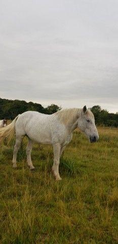 Égua Percheron