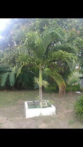Mudas de Palmeira Imperial 60cm - Foto 2