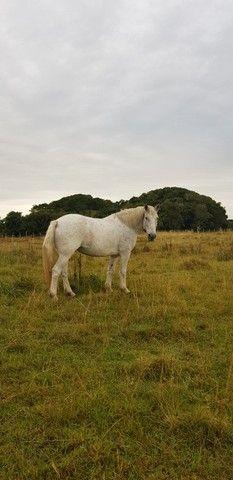 Égua Percheron - Foto 2