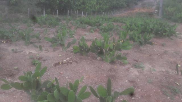 Palma forrageira - Sem espinhos - Foto 2