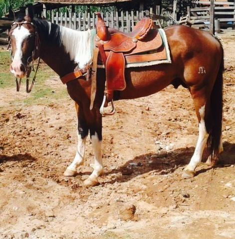 Cavalo (garanhão) Paint Horse registrado - Pagamento de leilão