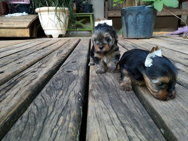 Yorkshire Terrier Macho micro (11) 94320.6743 whats