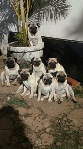 Filhotes de Pugs - Pais no local