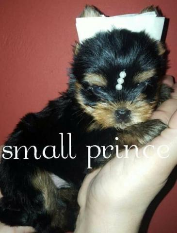 Yorkshire Terrier baby face pedigree
