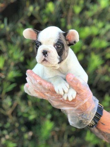 Bulldog Francês mais informações na descrição