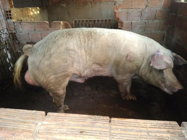 Vende-se porco - Foto 2