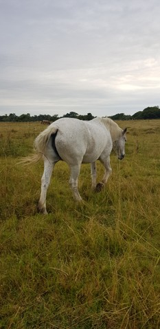 Égua Percheron - Foto 3