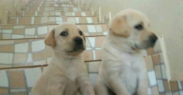 Labrador lindos raça pura macho e fêmea