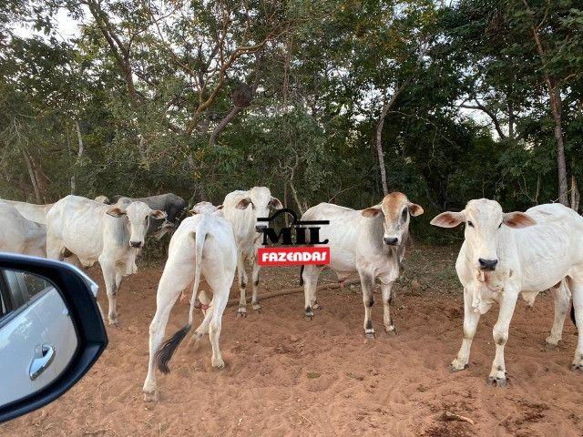 Fazenda 236 alqueires ( 1142 hectares ) Jaú-TO - Foto 13