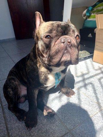 Bulldog Francês - Procuro Namorada - Foto 2
