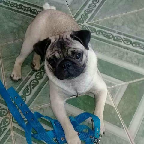 Pug macho disponível para cruza 9 meses