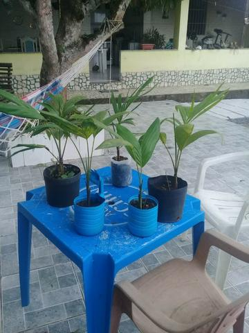 Mudas de Palmeira Imperial 60cm