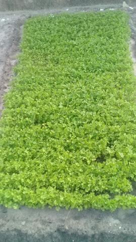 Cheiro verde - Foto 3