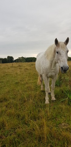 Égua Percheron - Foto 4