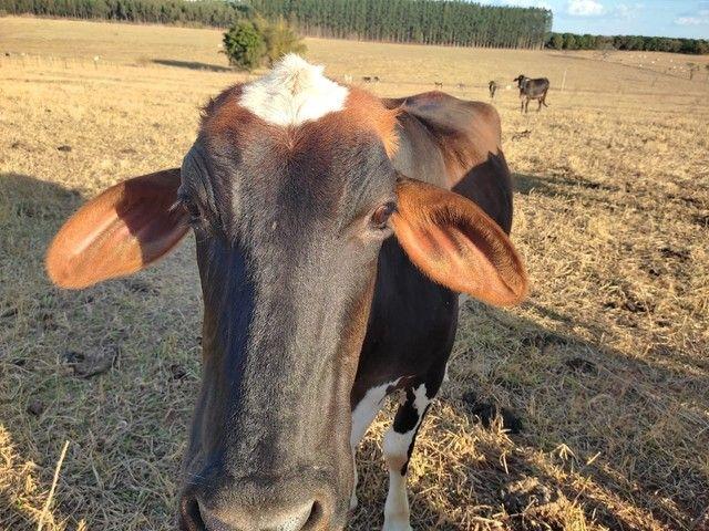 Vacas de Leite enxergadas  - Foto 4