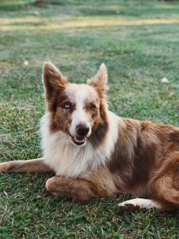 Border Collie Red Merle