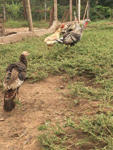 Vendo peru macho e femia perua
