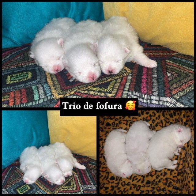 Vendo mini Spitz Alemão - Foto 6