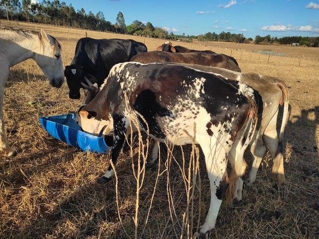 Vacas de Leite enxergadas  - Foto 2