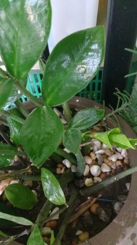 Planta Zamioculca Em Vaso De Polietileno