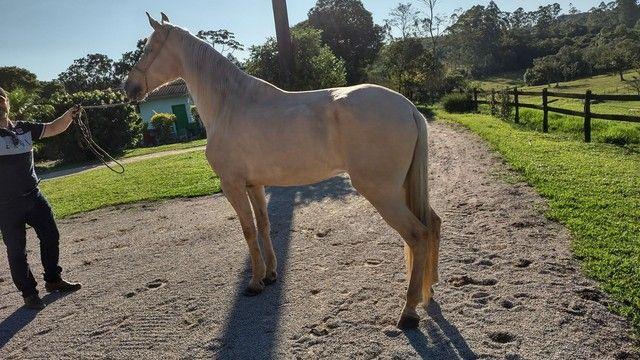 Vendo Cavalo Campolina Marchador. Baio Amarilho.Lindo e Muito Manso - Foto 5