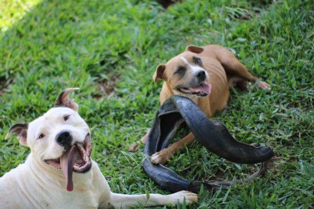 2 Filhotes de American Pitbull Staffordshire Terrier - Foto 6