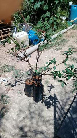 Mudas de loro.especiarias pimenta do reino cravo da india - Foto 3