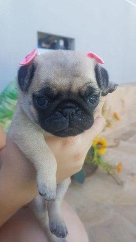 Lindos Filhotes de Pug Puros (Preto/Abricot) - Com Suporte Veterinário