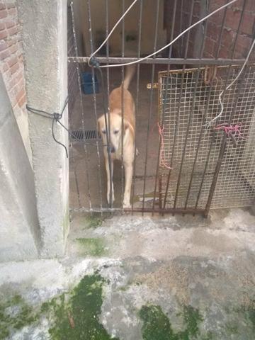 Doação cachorro labrador - Foto 3