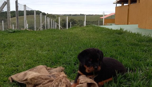 Vendo Rottweiler tel * - Foto 4