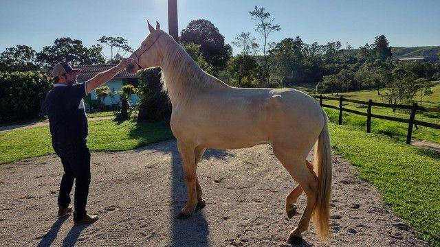 Vendo Cavalo Campolina Marchador. Baio Amarilho.Lindo e Muito Manso - Foto 6