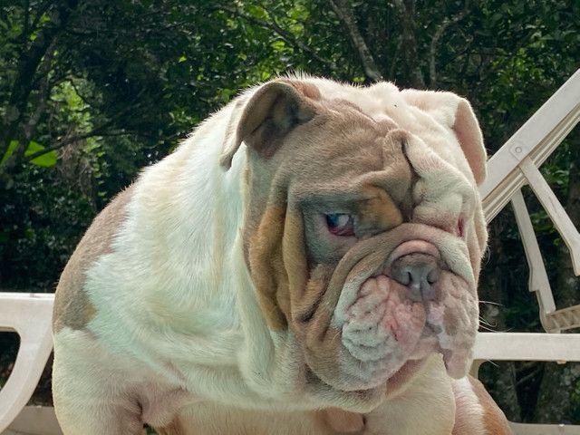Cobertura do Bulldog inglês  - Foto 2