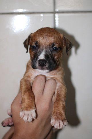 2 Filhotes de American Pitbull Staffordshire Terrier