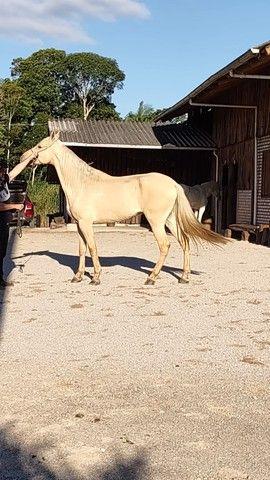 Vendo Cavalo Campolina Marchador. Baio Amarilho.Lindo e Muito Manso