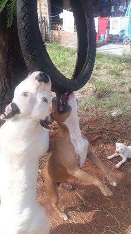 2 Filhotes de American Pitbull Staffordshire Terrier - Foto 5