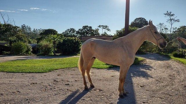 Vendo Cavalo Campolina Marchador. Baio Amarilho.Lindo e Muito Manso - Foto 3