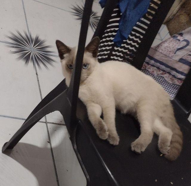 Gato para adoção - Foto 3